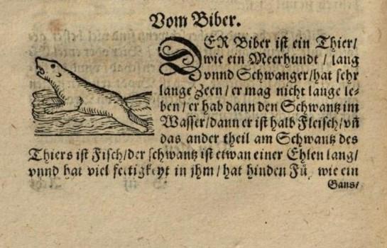 En text om att bävern är till hälften fisk och hälften kött.