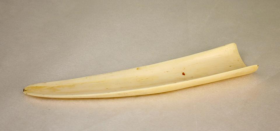 En bit av en elefantbete, som är delad på längden.