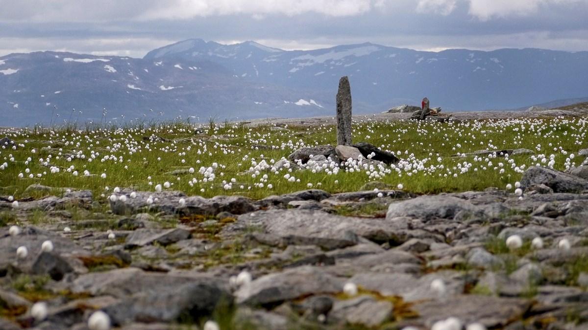 Foto av vy över Nasafjäll med berg i bakgrunden och gräs med vita blommor i förgrunden.