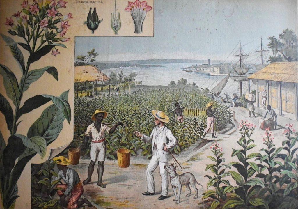 Skolplansch föreställande en tobaksodling.