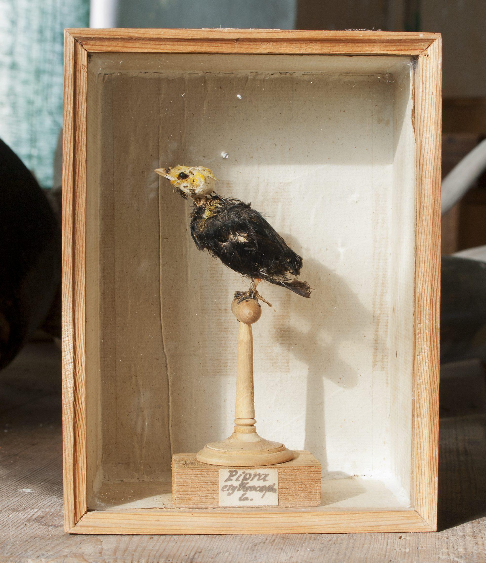 En skabbig uppstoppad fågel i en låda.