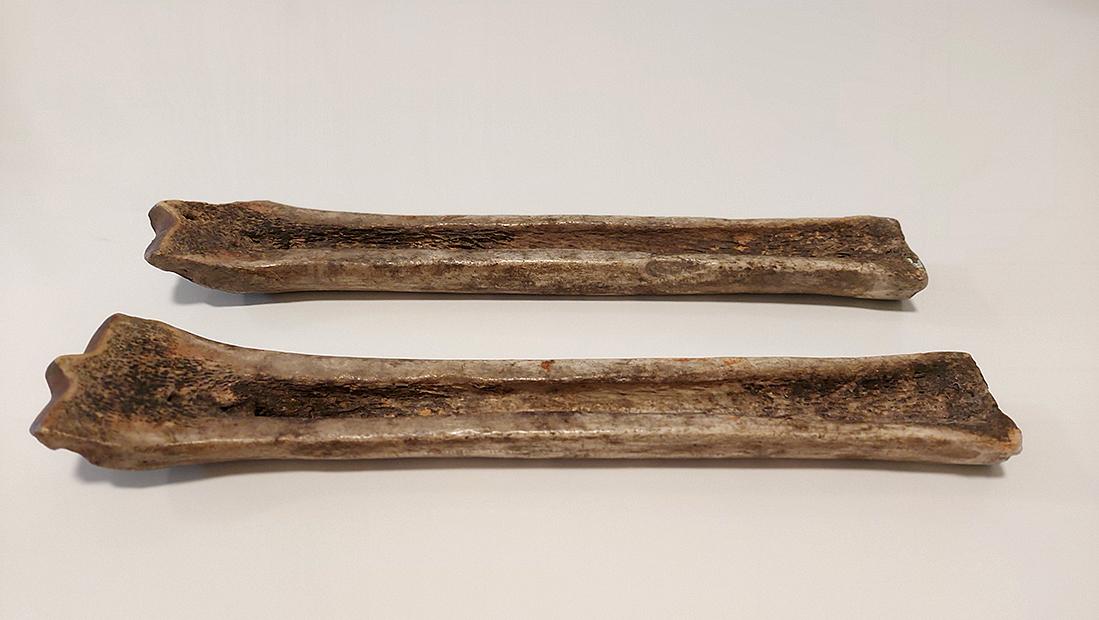 Två brunaktiga benbitar mot vit bakgrund. Benbitarna är avlånga och urgröpta på längden.