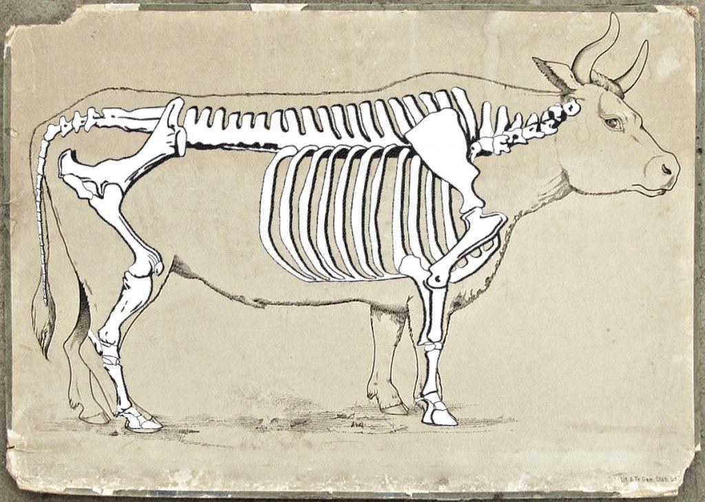 Teckning av oxe på gulaktigt papper. Oxens vita skelett syns, som om oxen var genomskinlig.